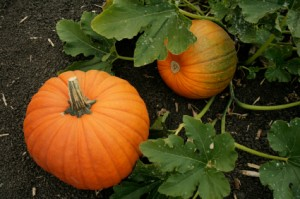 Gluten-Free Pumpkins on Vine in Pumpkin Patch