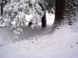 Our dog is hiding behind a pine branch